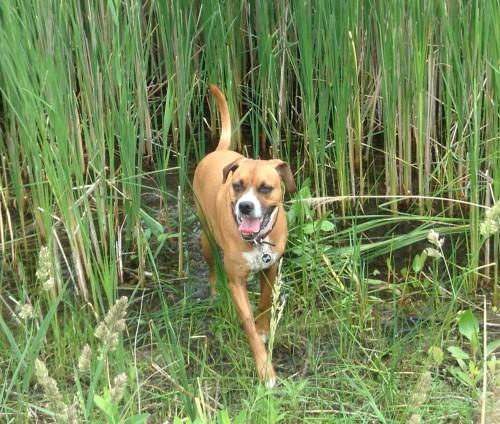 Boxer in pond